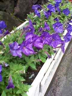 咲き始め青