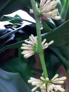 幸福の木花